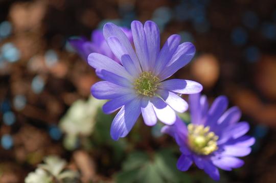 Anenome Blanda Blue (Anenome)