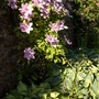 Hostas and clematis