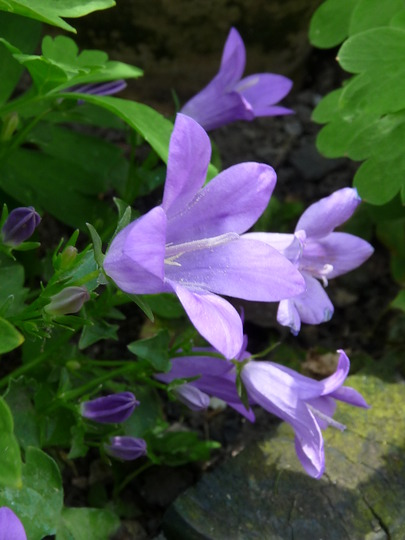 Campanula Carpatica (Campanula carpatica (Bellflower))