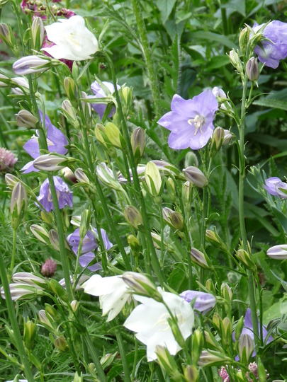 Blue and white Bellflowers (Campanula persicifolia (Peach-leaved bellflower))
