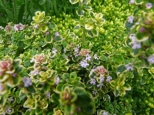 Lemon Scented Thyme in flower (Thymus x citriodorus (Lemon-scented thyme))
