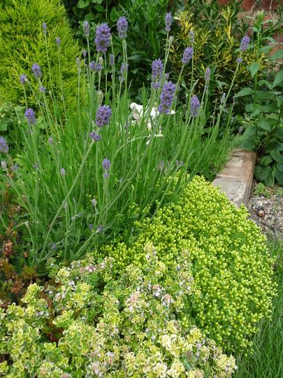 Lavender Hidcote, Thyme and Sedum (Lavandula angustifolia (Lavender))