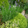 Lavender Hidcote, Thyme and Sedum (Lavandula angustifolia (Lavender))