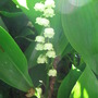 lily of the valley (Convallaria majalis (Lily of the valley))