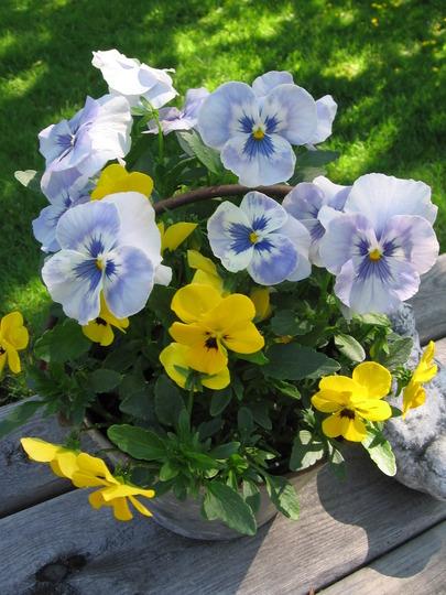 pot of pansies (viola odorata, viola tricolor, viola cornuta)