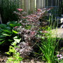 Sambucas niger..settled in with hosta and Siberian Iris