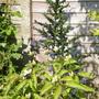 Ceanothus 'Puget Blue' (Ceanothus impressus)