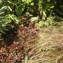 Carex 'Comans Bronze' with Berberis purpurea nana (Carex comans)