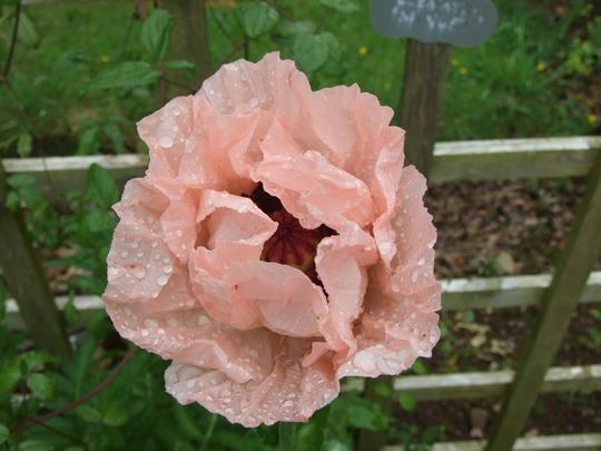 Coral_pink_papaver.jpg