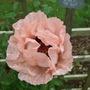 Coral_pink_papaver