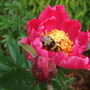 Paeonia_with_bee