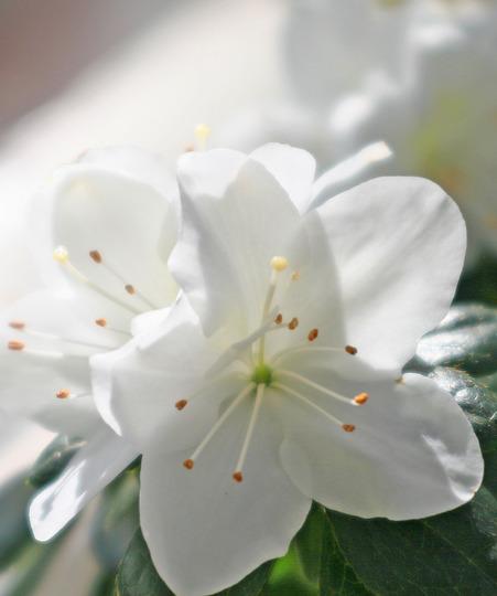 Azalea (Azalea)