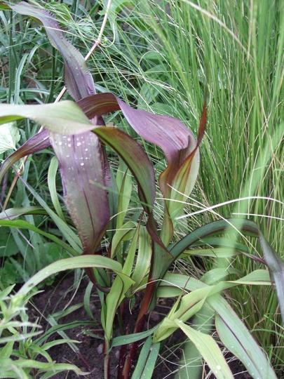 Panicum miliaceum 'Purple Baron' (Panicum miliaceum (Akdari))