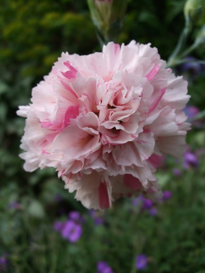 Dianthus 'Bailey's Celebrations' (Dianthus)