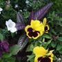Strobilanthes_and_friends