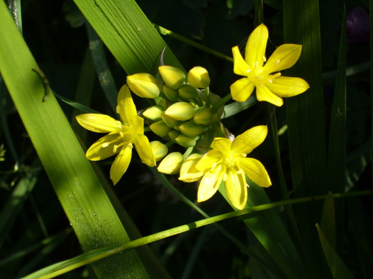 Allium moly (Allium moly (Golden Garlic))
