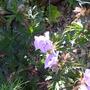 Geranium purple haze. (Geranium)