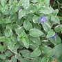 Periwinkle in bloom (Vinca minor (Lesser periwinkle))