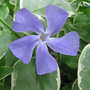 Blue periwinkle (Vinca minor (Lesser periwinkle))