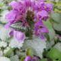 Pink Pewter lamium (Lamium maculatum 'Pink Pewter')