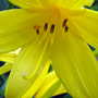 Yellow daylily (Hemerocallis)