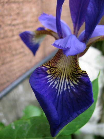 Closer view of iris (Iris versicolor (Amerikan Suseni))