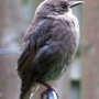 Starling fledgling in the rain