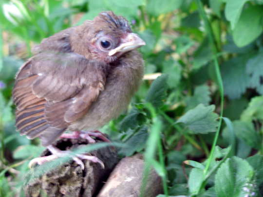 Another little fledgling