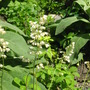 the original..white coral bells