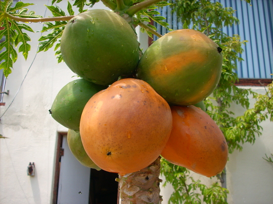 Carica papaya - Mexican Papaya (Carica papaya - Mexican Papaya)