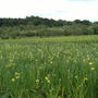 Iris_yellow_pseudacorus