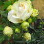 White Rose with Many Buds to follow :)