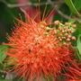 Combretum Constrictum or New Guinea Bottlebrush (Combretum Constrictum 'Thailand')