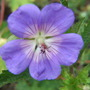 Geranium Jolly Bee