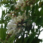 False Acacia flowers (Robinia pseudoacacia (False acacia))