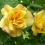 Roses_peter_beales_003