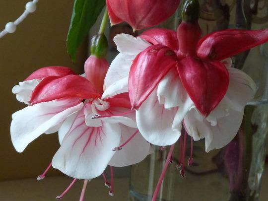 Fuchsia Swingtime (Fuchsia)