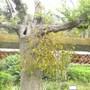 Mistletoe on Old Tree