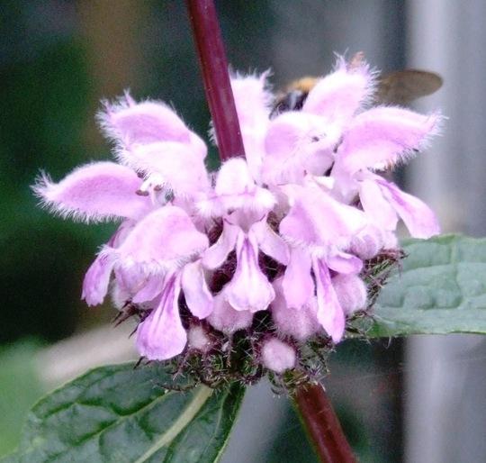 Phlomis ruselliana
