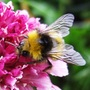 Bee_on_scabious_9_06_09_2