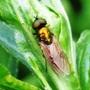 Chloromyia_formosa_8_06_09_1