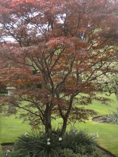 A Beautiful Acer