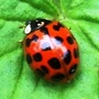 Ladybird on Clematis armandii leaf.