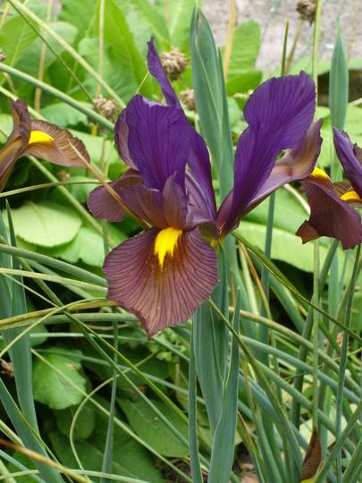 Iris 'Black Beauty' (Iris hollandica)