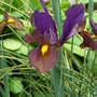 Iris_hollandica_black_beauty_9.6.9