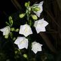 Campanula_persicifolia_alba_9.6.9