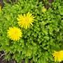 Yellow Ice Plant (Delosperma nubigenum)