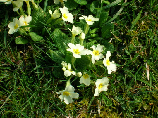 Primroses (hellebore orientalis)