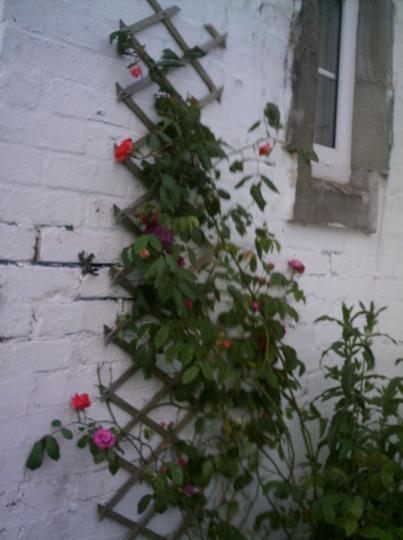 Roses in my front garden