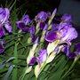 Purple Iris's